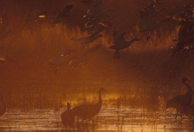 Photo: Sandhill cranes at Bosque del Apache NWR, in New Mexico.