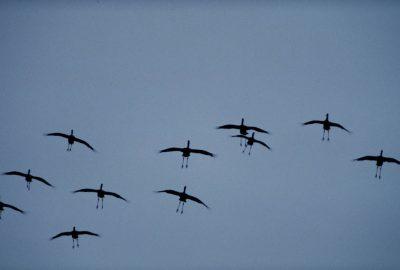 Photo: Sandhill cranes in flight.