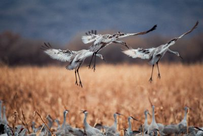 Photo: Sandhill cranes land in a cornfield at Bosque del Apache NWR in New Mexico.
