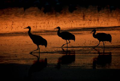 Photo: Sandhill cranes at Bosque del Apache NWR.