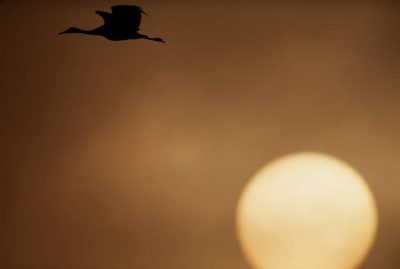 Photo: Sandhill crane in flight over Bosque del Apache NWR.