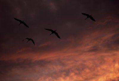 Photo: Sandhill cranes in flight over Bosque del Apache NWR.