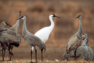 Endangered whooping crane, (Grus americana), among common sandhill cranes at Bosque del Apache NWR