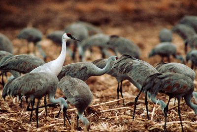 """A """"whoophill"""" -- offspring of an endangered whooping crane, (Grus americana) and the common Sandhill crane. (Bosque del Apache NWR, NM.)"""