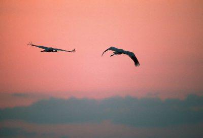 Endangered whooping cranes, (Grus americana), at Aransas NWR (TX).