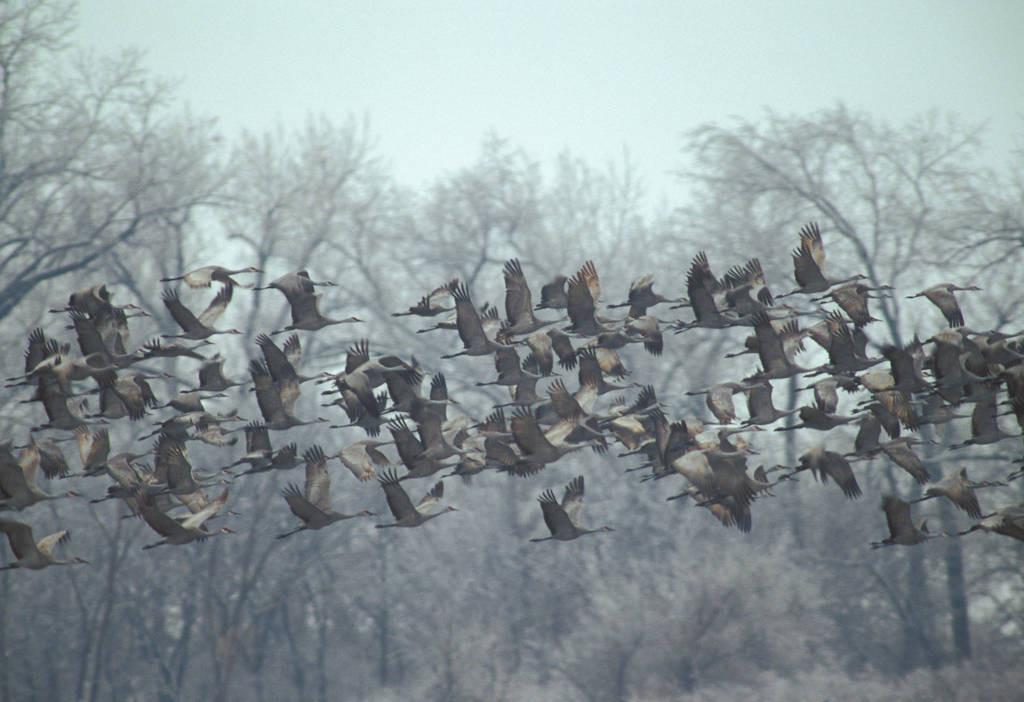 Photo: Sandhill cranes over the Platte River in Nebraska.