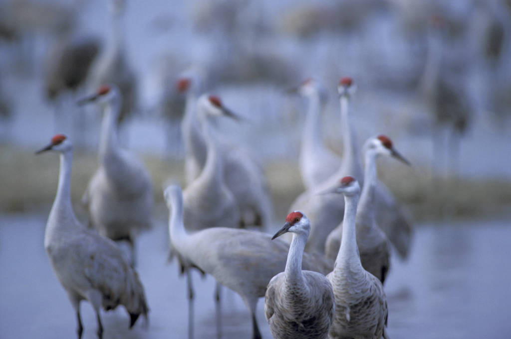 Photo: Sandhill cranes on the roost in the Platte River in Nebraska.