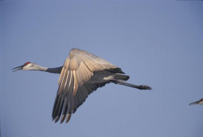 Photo: A sandhill crane takes off from its morning roost on the Platte River near Kearney, Nebraska.