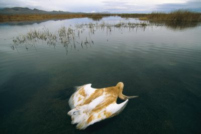 A juvenile whooping crane, (Grus americana), endangered; dead of avian cholera at Bosque del Apache NWR in New Mexico.