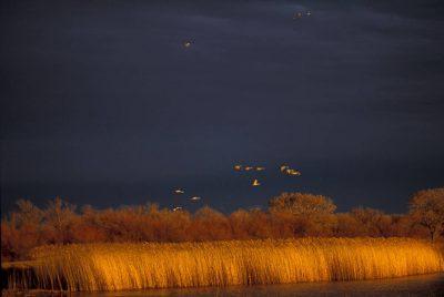 Photo: Sandhill cranes in flight over Bosque del Apache NWR, New Mexico.