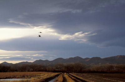 Photo: Sandhill cranes at Bosque del Apache NWR in New Mexico.