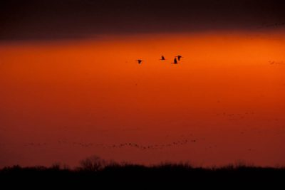 Photo: Sandhill cranes in flight over the Platte River at sunset.
