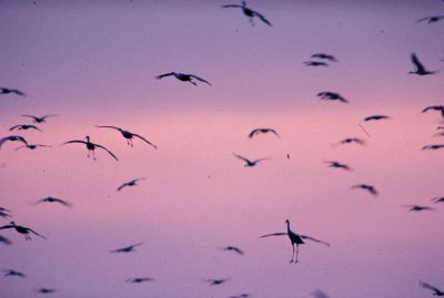 Photo: Sandhill cranes in flight over the Platte River.
