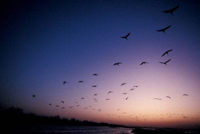 Photo: Sandhill cranes in flight over the Platte River in Nebraska.
