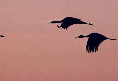 Photo: Sandhill cranes in flight over the Platte River.