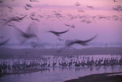 Photo: Sandhill cranes on the Platte River in Nebraska.