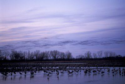 Photo: Sandhill cranes on the Platte River in Nebraska.