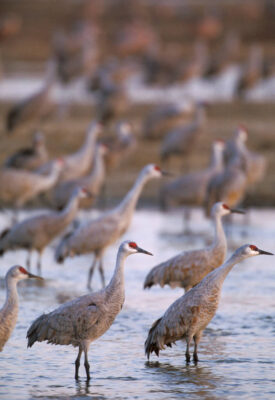 Photo: Sandhill cranes on the roost on the Platte River in Nebraska.