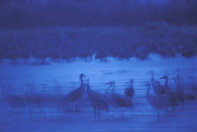 Photo: Sandhill cranes on the roost on the Platte River in Nebraska.