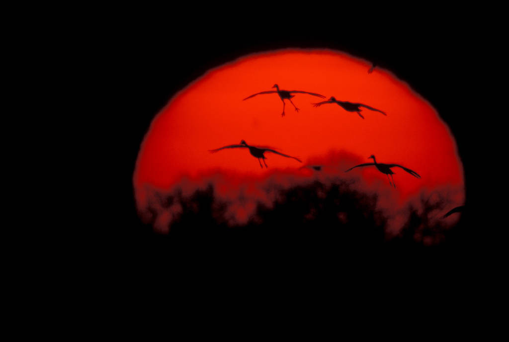 Photo: Sandhill cranes over the Platte River in Nebraska.