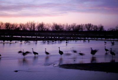 Photo: Sandhill cranes roosting on the Platte River in Nebraska.