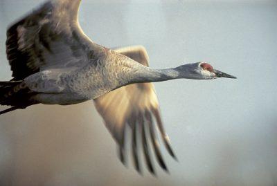 Photo: Sandhill crane in flight over the Platte River in Nebraska.