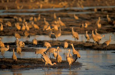 Photo: Sandhill cranes roosting on the Platte River in Nebraska.