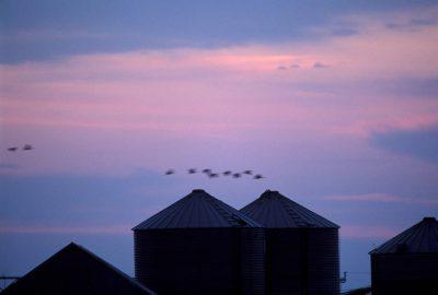 Photo: Sandhill cranes fly over a farmstead near Kearney, NE.