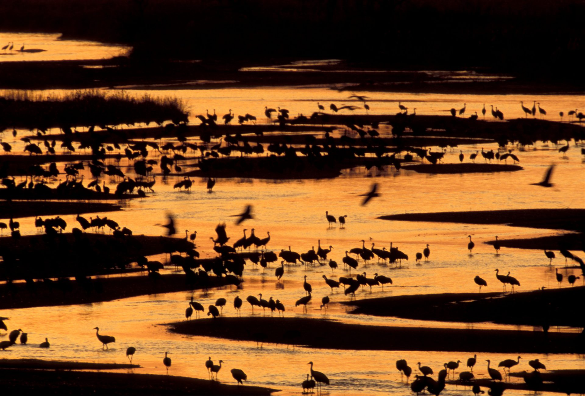 Photo: Sandhill cranes roosting during a stop over on their annual migration in the Platte River near Gibbon, NE
