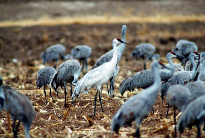 """""""Whoophills"""" (a cross between a whooping crane, (Grus americana), and a sandhill crane) at Bosque Del Apache National Wildlife Refuge."""