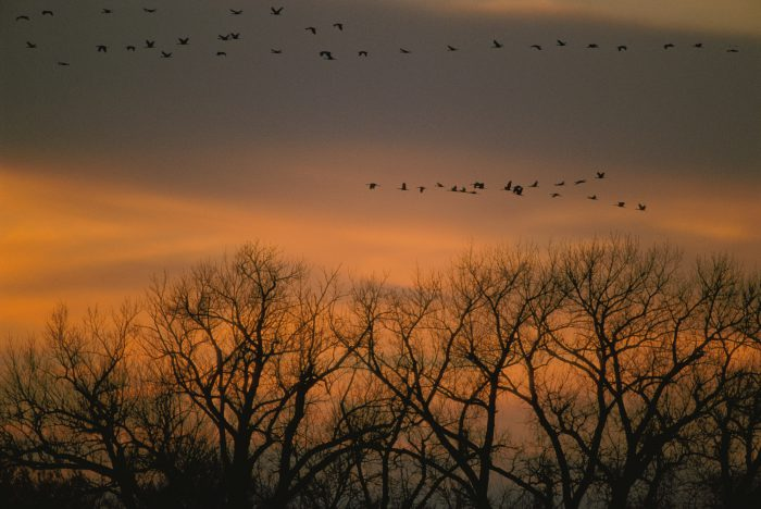Photo: Sandhill cranes in flight near Gibbon, NE on their annual migratory route.