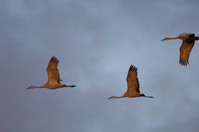 Photo: Sandhill cranes in flight over the Platte River near Gibbon, NE.
