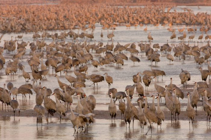 Photo: Sandhill cranes roosting during a stop over on their annual migration in the Platte River, Nebraska.