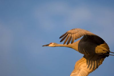 Photo: Sandhill cranes come in over the Platte River near Gibbon, NE. This was at the Rowe Audubon Sanctuary.