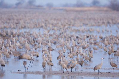 Photo: Sandhill cranes roost on the Platte River near Gibbon, NE. This was at the Rowe Audubon Sanctuary.