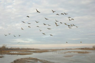 Photo: Sandhill cranes come in on the Platte River near Gibbon, NE. This was at the Rowe Audubon Sanctuary.