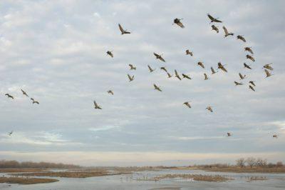 Photo: Sandhill cranes come in on the Platte River near Gibbon, NE. This was at the Rowe Audubon Sanctuary.