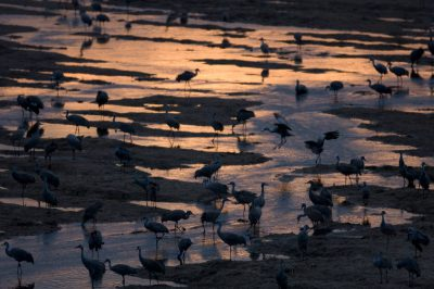 Photo: Sandhill cranes roost on the Platte River near Gibbon, NE. This was at the Rowe Audubon Sanctuary.