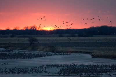 Photo: Sandhill cranes fly over the Platte River at sunrise near Gibbon, NE. This was at the Rowe Audubon Sanctuary.