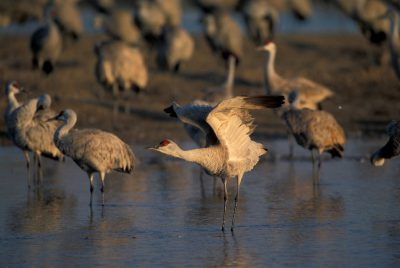 Photo: A Sandhill crane prepares for flight along the Platte River near Kearney, Nebraska.