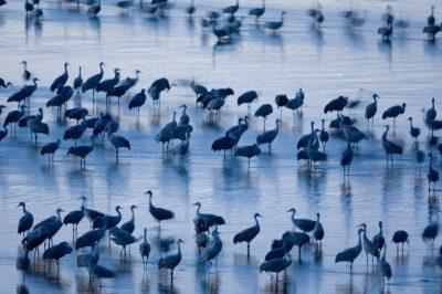 Photo: Sandhill cranes roost on the Platte River near Gibbon, Nebraska.