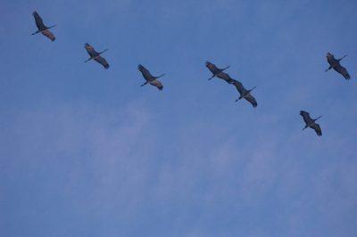 Photo: Sandhill cranes fly over the Platte River near Kearney, Nebraska.
