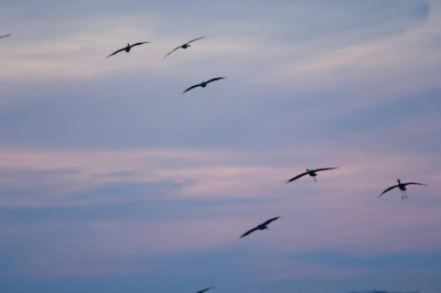 Photo: Sandhill cranes fly above the Platte River near Kearney, Nebraska.