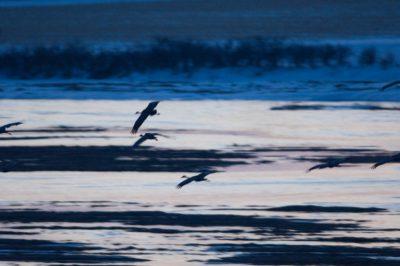 Photo: Sandhill cranes fly along the Platte River near Kearney, Nebraska.