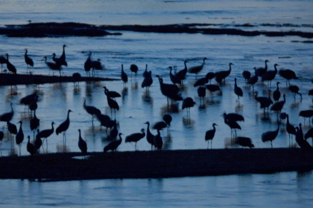 Photo: Sandhill cranes roost along the Platte River near Kearney, Nebraska.