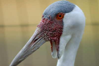 Photo: Wattled crane (Bugeranus caruncalatus) at Omaha's Henry Doorly Zoo.