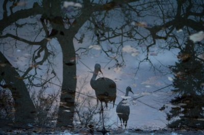 Photo: Hooded cranes at the Denver zoo.
