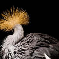 An endangered (IUCN) East African crowned crane (Balearica regulorum gibbericeps) at the Kansas City Zoo.