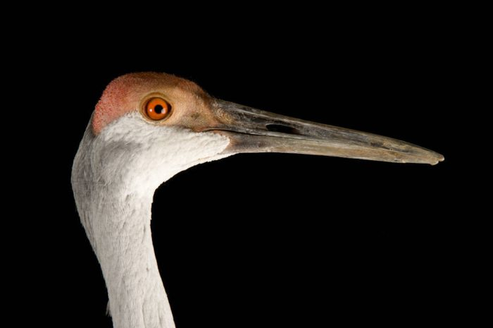 A Sandhill crane (Grus canadensis) at the Sutton Avian Research Center.