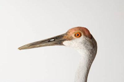 A Sandhill crane (Grus canadensis) at the Sutton Avian Research Center.